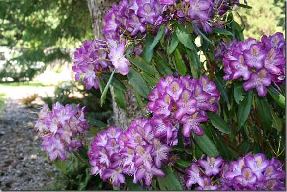 Rhododendron 'Madame Cochet'