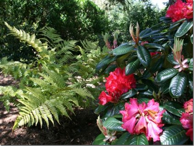 'Noyo Chief' Rhododendron with a fern as backdrop